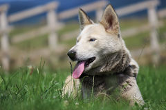 Husky dog. On the grass Stock Images