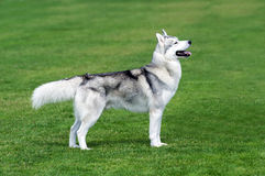 Husky dog on the grass. Husky dog staying on the grass Royalty Free Stock Images