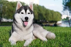 Husky dog on green grass Stock Photography