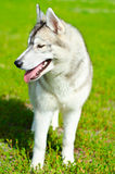 Husky dog Stock Photography