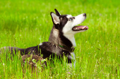 Husky dog on green grass Stock Photo