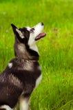 Husky dog on green grass Stock Image