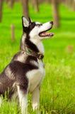 Husky dog on green grass Stock Photos