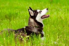 Husky dog on green grass Stock Photo