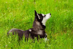 Husky dog on green grass Royalty Free Stock Image