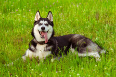 Husky dog on green grass Stock Image