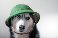 Husky dog in green pith royalty free stock photography