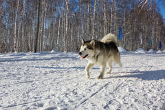 Husky dog in harness running through the snow Stock Image