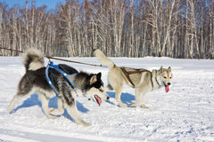 Husky dog in harness running through the snow Stock Photo