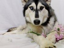 Husky Dog hermoso que sostiene las flores rosadas en blanco Imagen de archivo libre de regalías