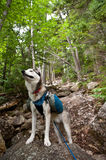 Husky dog hiker Royalty Free Stock Images