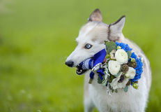 Husky dog holding wedding bouquet Royalty Free Stock Photos