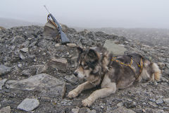 Husky dog with hunting rifle on foggy day Stock Photo