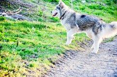 Husky dog Stock Photo
