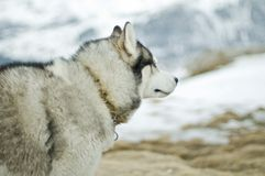 Husky Dog In Wilderness Royalty Free Stock Image