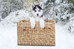 Husky dog inside basket on the forest Stock Images