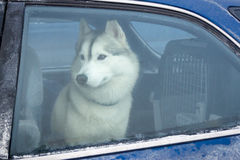 Husky dog inside car. Husky dog inside automobile, view through window car Stock Photos