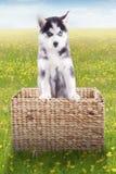 Husky dog inside wooden basket on meadow Stock Photo