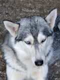 Husky Dog Is Resting In His Cage Royalty Free Stock Photos