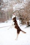 Husky dog jumping Royalty Free Stock Photography