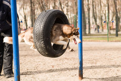 Husky Dog jumps over a hurdle at the training ground Stock Photos