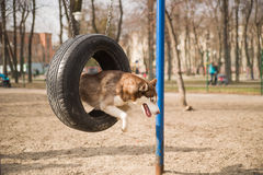 Husky Dog jumps over a hurdle at the training ground Royalty Free Stock Photos