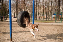 Husky Dog jumps over a hurdle at the training ground Stock Images