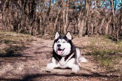 Husky dog laughs and shows tongue, pleased Malamute lies in the forest on the ground and looks up royalty free stock images