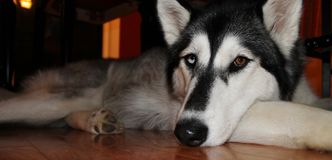 Beautiful Husky dog laying on floor Royalty Free Stock Photo