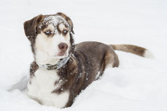 Husky Dog laying in The Snow. Stock Images