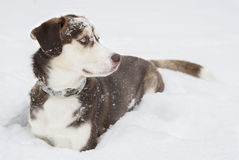 Husky Dog laying in The Snow. Royalty Free Stock Images