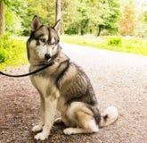 Husky dog on leash closeup portrait in park Royalty Free Stock Image