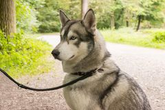 Husky dog on leash closeup portrait in park royalty free stock photos