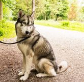 Husky dog on leash closeup portrait in park royalty free stock image