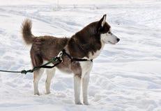 Husky dog on a leash Stock Photo
