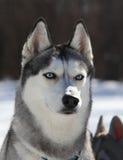 Husky dog listens Stock Image