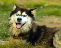 Husky dog. Looking curiously at the camera Royalty Free Stock Photography