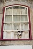 Husky Dog Looking en la calle, sentándose en la ventana abierta de la casa Imagenes de archivo