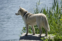 Husky dog looking at the river Royalty Free Stock Photos