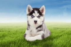Husky dog lying on the grass Stock Photos