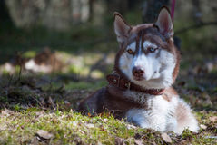 Husky dog is lying and staring Stock Images