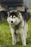 Husky dog ​​-malamut. Stock Photo