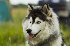 Husky dog ​​-malamut. Royalty Free Stock Photos