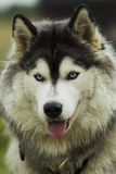 Husky dog ​​- malamut. Stock Images