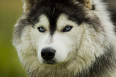 Husky dog ​​- malamut. Royalty Free Stock Images