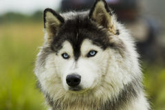 Husky dog ​​- malamut. Stock Photos