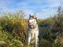 Husky Dog nel campo Anchorage Alaska Immagine Stock