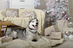 Husky dog in a New Year's interior Stock Image
