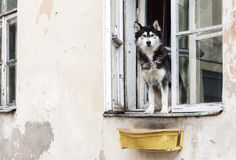 Husky dog and old window Royalty Free Stock Images
