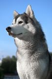 Husky dog outdoors Royalty Free Stock Images